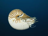 Chambered Nautilus (Nautilus Pompilius)  Great Barrier Reef  Australia