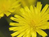 Cat's Ear Flower (Hypochaeris Radicata  Scotland  UK