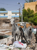 Goats at Nubian Village on Elephantine Island  Aswan  Egypt