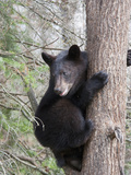 Black Bear (Ursus Americanus) in a Tree  Vince Shute Wildlife Sanctuary  Minnesota  USA