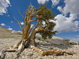 Bristlecone Pine (Pinus Longaeva) Showing Both the Dead and Living Porteions of the Conifer