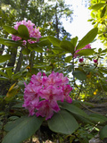 California Rhododendron  Rhododendron Macrophyllum  Kruse Rhododendron Reserve