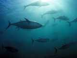Southern Bluefin Tuna (Thunnus Maccoyii) Circle in Holding Pen Off Port Lincoln  South Australia