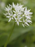 Wild Garlic or Ramsons Flowers (Allium Ursinum)  Scotland