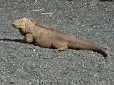 Galapagos Land Iguana (Conolophus Subcristatus)  Urbina Bay  Isabela Island  Galapagos Islands