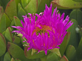 Sea Fig or Ice Plant (Carpobrotus Chilensis)  Cambria Bluff  Family Aizoaceae