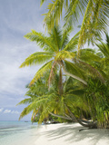 Palms on a Tropical Beach on the Funafuti Atoll in Tuvalu