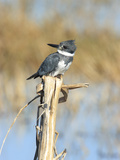 Male Belted Kingfisher (Ceryle Alcyon) Perching on Pig Weed Stalk