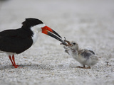 Black Skimmer (Rynchops Niger) Chick Being Fed on the Beach Nest