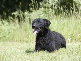 Curly-Coated Retriever Lying in a Yard  MR
