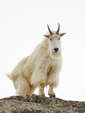 Mountain Goat (Oreamnos Americanus)