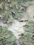 Green Shield Lichen (Flavoparmelicaperata) Growing on Birch Tree Bark