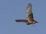 Northern Harrier Male in Flight