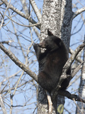 Black Bear (Ursus Americanus) Sitting in a Tree  Vince Shute Wildlife Sanctuary  Minnesota  USA