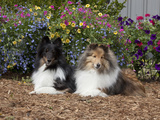 Shetland Sheepdogs Sitting in a Garden  MR D2778
