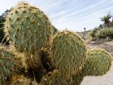 Pancake Prickly Pear Cactus (Opuntia Chlorotica)  Joshua Tree National Park  Mojave Desert