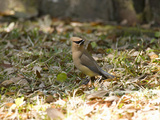Cedar Waxwing (Bombycilla Cedrorum)  Eastern USA