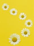 Pattern of Daisy Flowers (Leucanthemum)