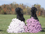 Flat-Coated Retriever Pair Posed and Sitting Behind Flowers