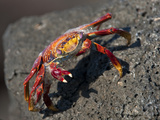 Sally Lightfoot Crab (Grapsus Grapsus)  Galapagos Islands  Ecuador