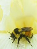 Bumblebee (Bombus Borealis) on an Iris Flower