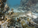 Saltwater Crocodile Swimming over a Coral Reef (Crocodylus Porosus)  Micronesia  Palau