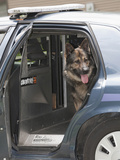 Czech Shepherd in a Police Car