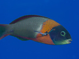 The Saddle Wrasse (Thalassomduperrey)