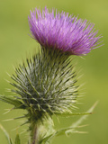 Spear or Bull Thistle (Cirsium Vulgare)  Scotland  UK