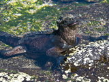 Galapagos Marine Iguana (Amblyrhynchus Cristatus)  Puerto Egas  Galapagos Islands  Ecuador