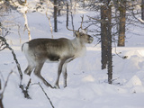 Reindeer Foraging in Northern Finland in Winter Near Saariselka