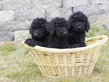Standard Poodle Puppies 8 Weeks Old