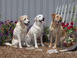 Labrador Retrievers Sitting in a Garden  MR