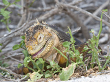 Galapagos Land Iguana Eating a Plant (Conolophus Subcristatus)  North Seymour  Galapagos Islands