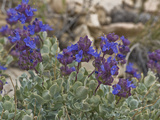 Clokey Purple Sage (Salvia Dorrii Clokeyi)  Ancient Bristlecone Pine Forest  Inyo National Forest