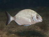 White Sea Bream (Diplodus Sargus Sargus)  Les Ferranelles  Medes Islands  Costa Brava
