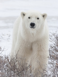Polar Bear (Ursus Maritimus) Walking Through Willows  Churchill  Manitoba  Canada