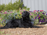 Flat-Coated Retriever Sitting in a Garden  MR