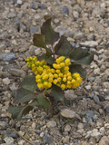 Creeping Oregon Grape (Berberis Aquifolium Repens) Great Basin National Park  Nevada