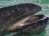 Gray Whale (Eschrichtius Robustus) with Open Mouth Showing Baleen or Whalebone and Tongue  Baja