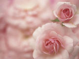 Shrub Rose (Rosa) Bonica Variety