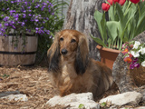 Miniature Dachshund Sitting in a Garden  MR D2731