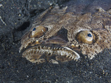 Whitemargin Stargazer (Uranoscopus Sulphureus) Buried in the Sand with Eyes  Mouth