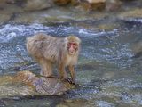 Japanese Macaque or Snow Monkey (Macacfuscata) They are Famous for Soaking in the Warm Pools