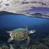 Endangered Hawksbill Sea Turtle (Eretmochelys Imbricata)  Tubbataha Reef  Philippines