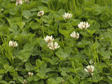 White Clover(Trifolium Repens)