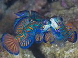 Male Mandarinfish (Synchiropus Splendidus) Fighting  One Trying to Drive the Other Away
