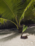 Germinating Coconuts on a Sandy Beach in Palau  Micronesia