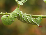 Tobacco Hornworm (Manduca Sexta)