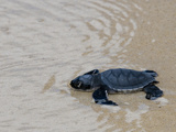 Green Sea Turtle Hatchling (Chelonia Mydas Agassizi)  Galapagos Islands